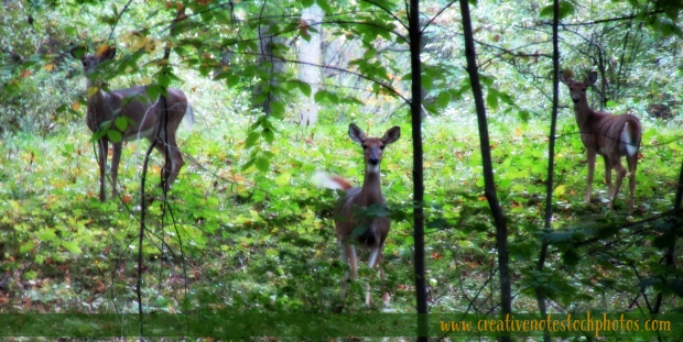 deer, deer in woods, three deer, doe and fawns, deer photos