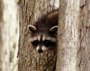 raccoon wildlife photo funny raccon