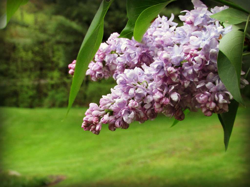 lilacs in bloom may blooms lavendar natural plants essential oils