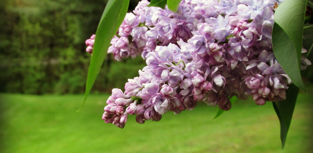 lilacs new york lilacs new york blogger broome county binghamton greater binghamton natural wellness resources cancer survivor
